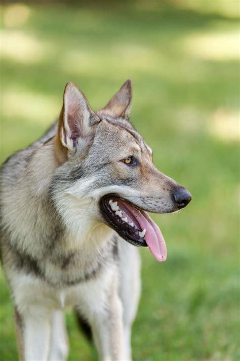 regalo cane lupo cecoslovacco pastore lupo cecoslovacco lupo cecoslovacco pastore