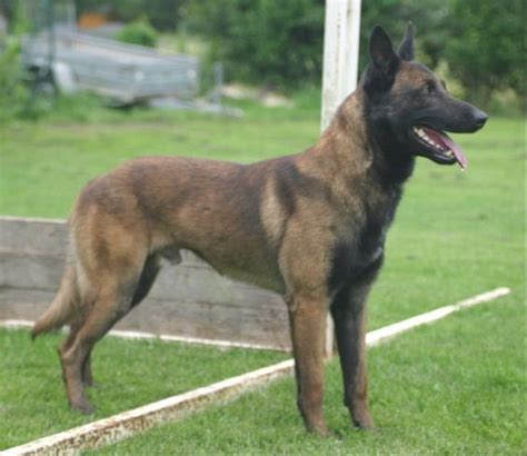 personal protection dogs for sale the world s catalog of ideas