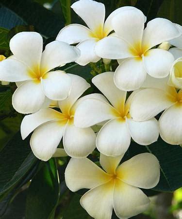 plomeria la central plumeria apocynaceae coltivazione e cura delle piante