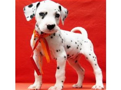 dalmatian puppies florida dalmatian puppies in florida