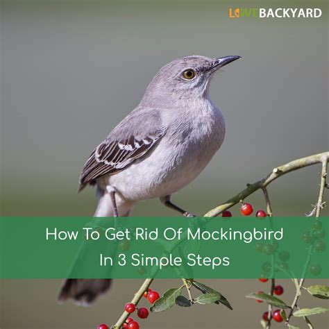 how to get rid of mockingbirds in 3 simple steps apr 2018
