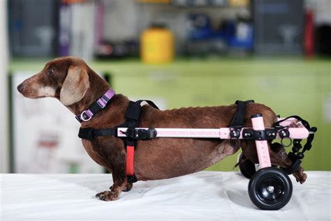 wheels for dogs walkin wheels dogs in motion canine rehabilitation