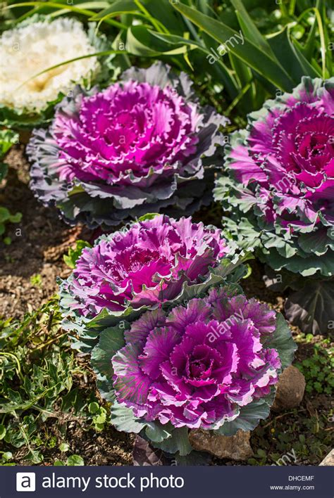 cabbage ornamental mix beautiful pigeon mix ornamental cabbage brassica oleracea