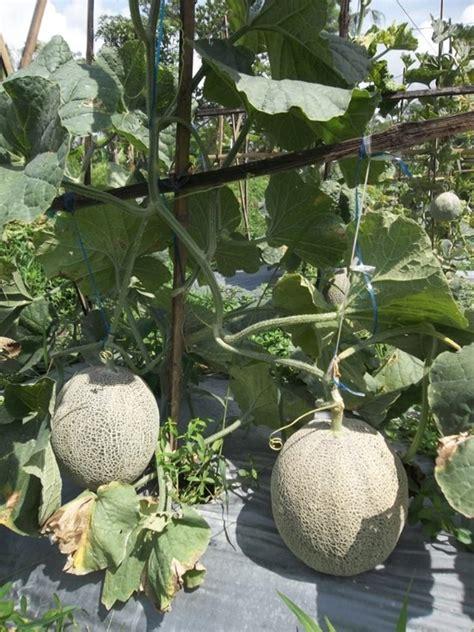 Pasaran Bibit Cengkeh 3 cara budidaya tanaman padi cara merawat