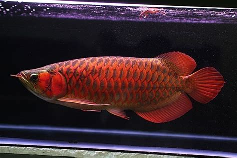 Jual Bibit Ikan Koi Import jual jual ikan arwana golden arowana murah harga bibit