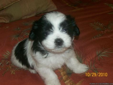 poodle and shih tzu mix for sale maltese shih tzu poodle mix pups price 55000 for sale in desert image breeds picture