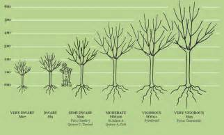 Tree Canopy Size Chart by Rootstocks Fruit Trees Sizes And Rootstocks Apple