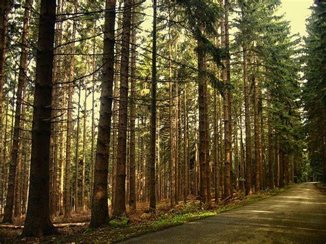 forest trees firs fir  photo  pixabay