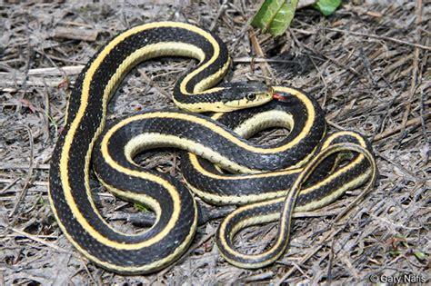 woodsterman garden snakes   dangerous