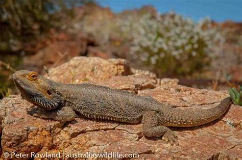 Heat L For Bearded Dragons by Outback New South Wales Australia S Wildlife