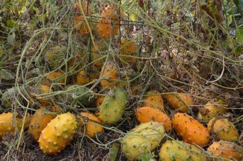 fruit d afrique le kiwano est productif
