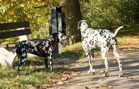 perros apareamiento el apareamiento manual de seducci 243 n canina eroski consumer