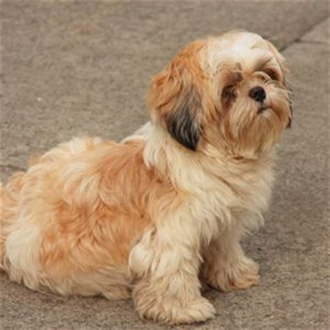 shih tzu or pug pug shih tzu mix animals