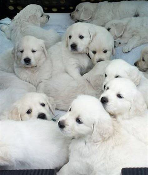 golden retriever aggression toward other dogs 1000 ideas about golden retrievers on golden retrievers white