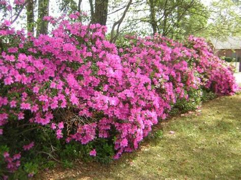 magenta azalea bushes simple flowers pinterest