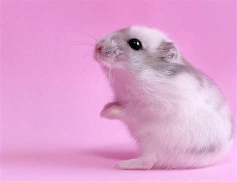 imagenes de hamsters kawaii playdate mishaps when the hamster dies the mama bird