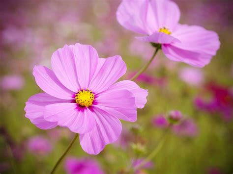 Bathroom Decorating Ideas For Small Spaces how to plant grow and care for cosmos