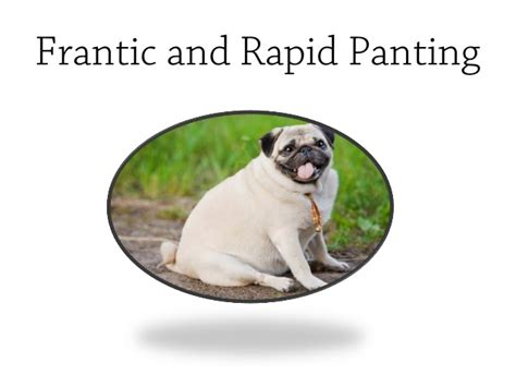 pug vomiting and diarrhea pugs overheating symptoms