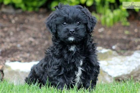 what does a shih poos tail look like shih poo cavapoo cockerpoo poodle cross wanted