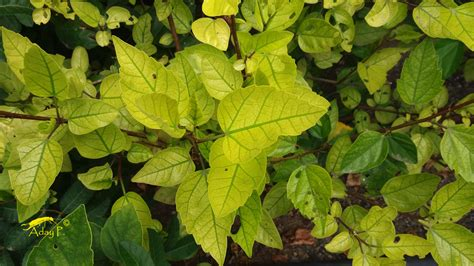 imagenes de hojas otoñales clorosis f 233 rrica hojas amarillas en tus plantas