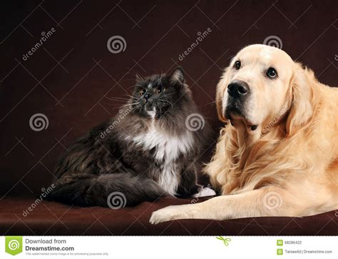 golden retriever cats kitten and golden retriever food stock photo