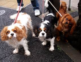 blenheim color file cavalier king charles spaniel trio jpg wikimedia