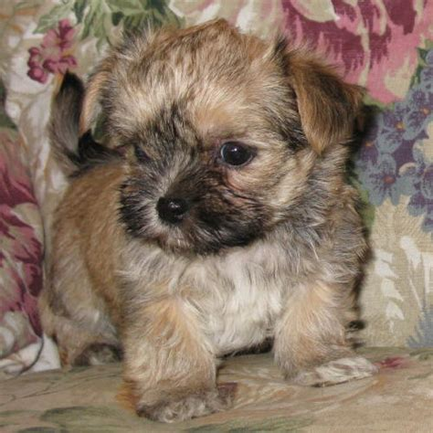 morkies wikipedia morkie puppy haircuts hairstylegalleries com