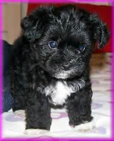black morkie puppies 1000 images about morkies poodles yorkies on shih poo morkie puppies