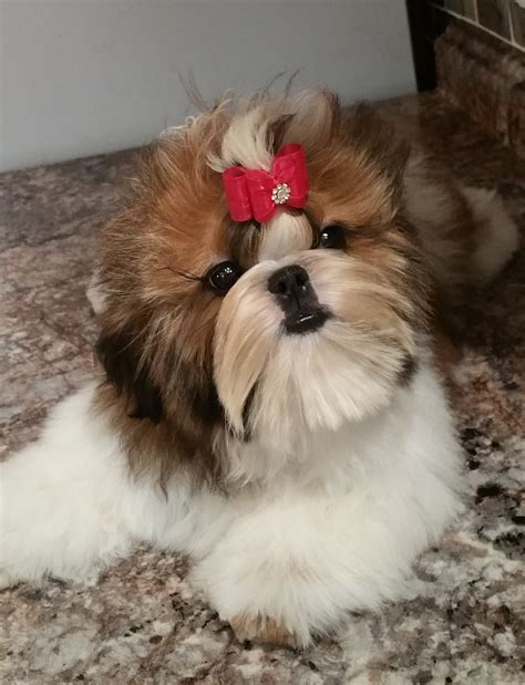 shih tzu show breeders buy top quality chion sired shih tzu puppies for sale
