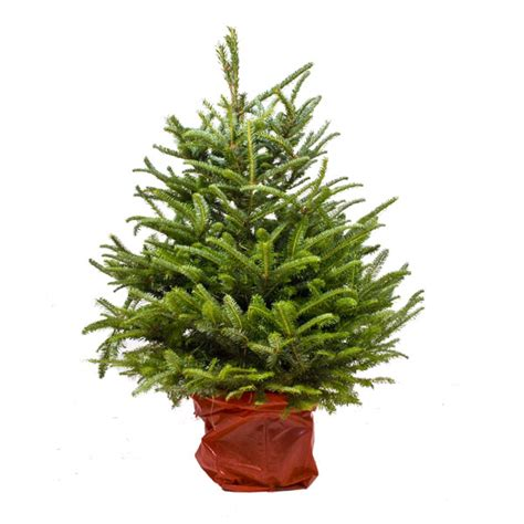 nordman fir 120 140cm 4ft pot grown traditional