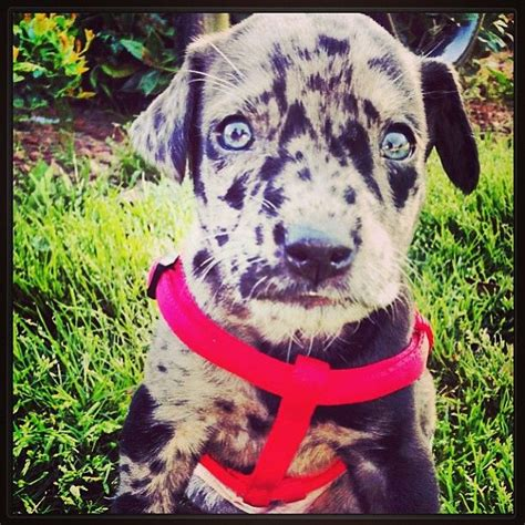 pomeranian great dane mix great dane lab mix puppy