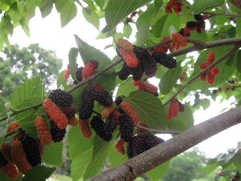 wacissa mulberry tree just fruits and exotics