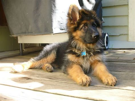 shepherd puppies for sale haired german shepherd information and puppies for sale