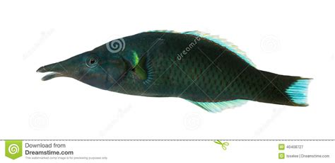 bird wrasse gomphosus varius fish profile side view of a bird wrasse male gomphosus varius stock