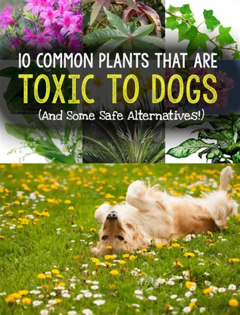 what plants are poisonous to dogs 10 common plants that are toxic to dogs safe