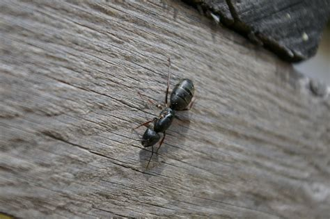 carpenter ants in bathroom how to control carpenter ants without pesticides