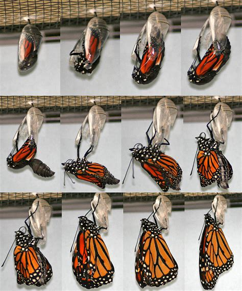 wings emerging from troubled times with new and deeper wisdom books monarch butterfly cycle asu ask a biologist