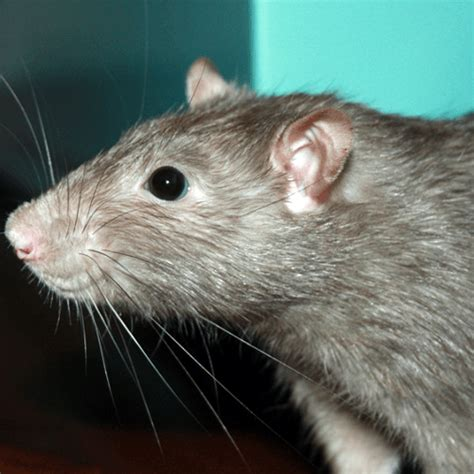 how to get rid of rats in house how to get rid of rats how to get rid of stuff