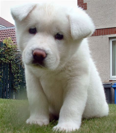 akita puppy for sale pin white akita puppies for sale httpwwwnextdaypetscomdirectorydogs on