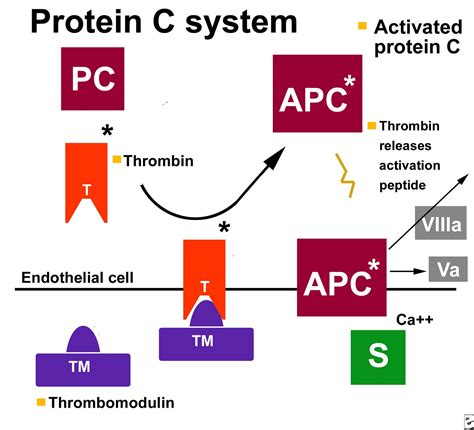 c protein deficiency protein c deficiency causes symptoms treatment protein