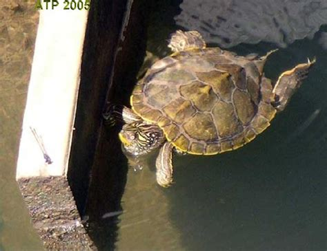 texas map turtles atp care sheet texas map turtle