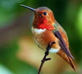 birds of the world allen s hummingbird