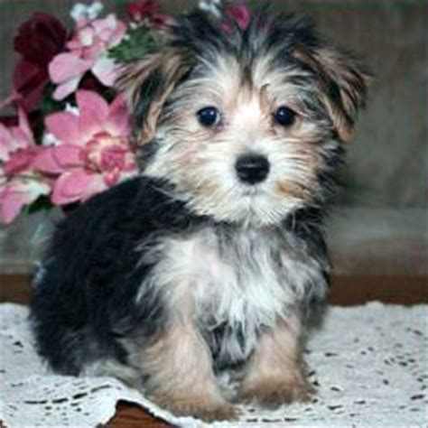 where to buy yorkie poo puppies yorkie poo puppy pics dogs our friends photo
