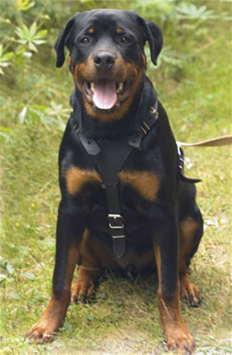 rottweiler breed traits rottweiler traits breeds picture