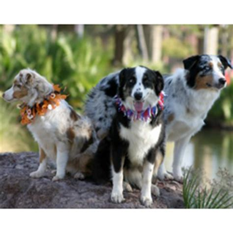 Compact House by Miniature Australian Shepherd Puppies For Sale From