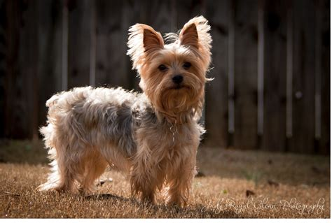 what is the best yorkie terrier shoo out there and condistioner seeing through god s eyes lily