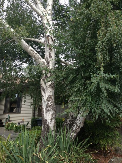 tree for front yard front yard birch tree garden delights