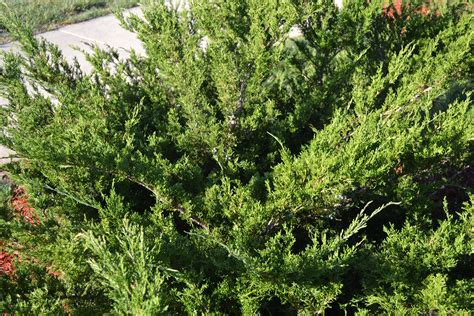 mint julep juniper 174 is a commonly planted evergreen shrub