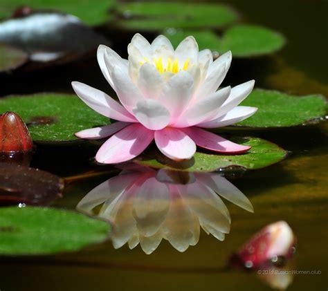 sfondi per desktop fiori 1080 x 960 ninfee sfondi fiori immagini di sfondo 1080x960