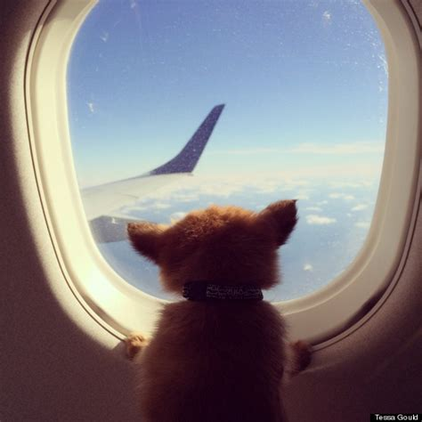 flying with an emotional support miniature terrier